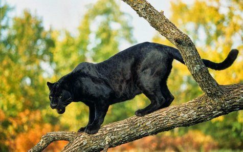 fotos-de-panteras-panther-photos-animales-salvajes-felinos---02